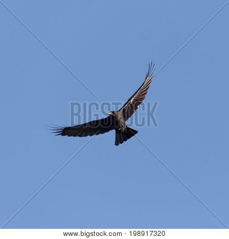 Black raven soaring against the blue sky