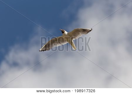 Gull close-up against a blue sky with clouds