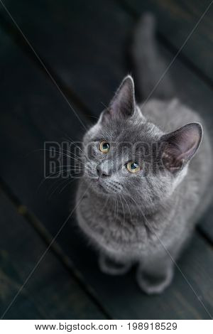 Cute kitten sitting. Charming grey kitty looking up. This adorable domestic pet has a beautiful soft grey fur coat. The small young cat is sitting on a dark wooden background.