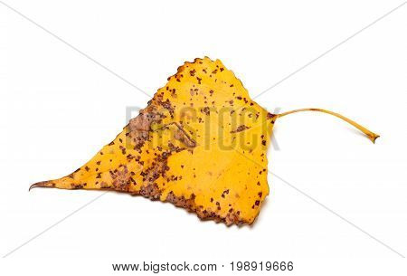 Spotted Autumn Leaf Of Poplar