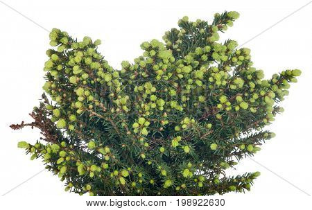 green small fir tree isolated on white background