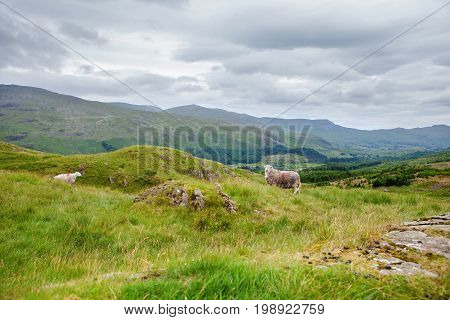 Green rural landscapes in Lake District National Park, England, sheep, mountains on the background, selective focus