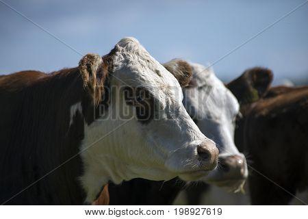 Close-up herd of free range cows on green pasture farmland in rural Laesoe Denmark.