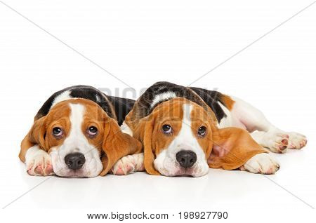 Two Beagle Puppies On White Background