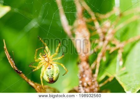A Small Green Spider In Web