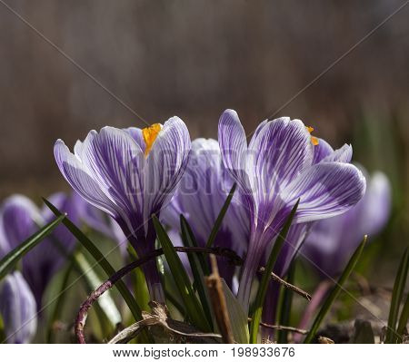 Crocuses or croci on a flower meadow. Unprepared part of a park.