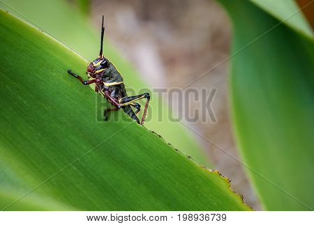 Eastern Lubber Grasshopper nymph (Romalea guttata) on lily leaf