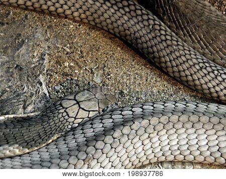Closeup King Cobra Lie Down on sand and stone