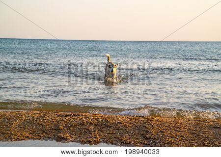 Dog is coming out of the sea. In the evening in the rays of the setting sun.