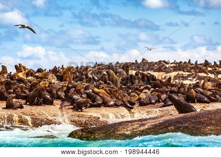 Wild sea lions on the stony coast, cute beautiful animals, colony of the seals, safari travels, Hout Bay Seal Island, beauty of South Africa