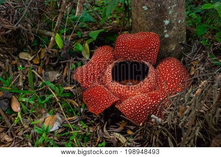 Rafflesia the biggest flower in the world. This species located in Ranau Sabah Borneo. Malaysia poster