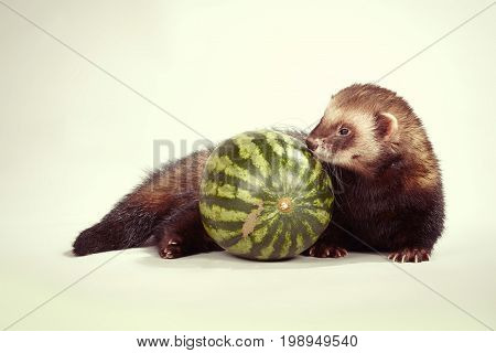 Ferret portrait in studio with water melon