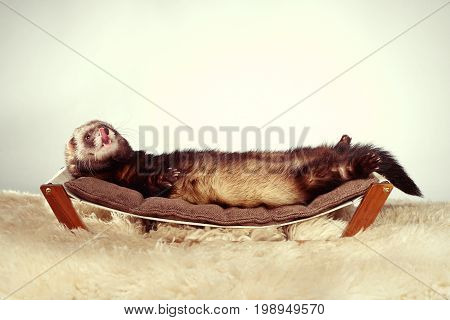 Ferret portrait in studio on little sofa