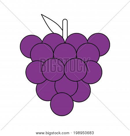 Flat line grapes with a hint of color over white background vector illustration