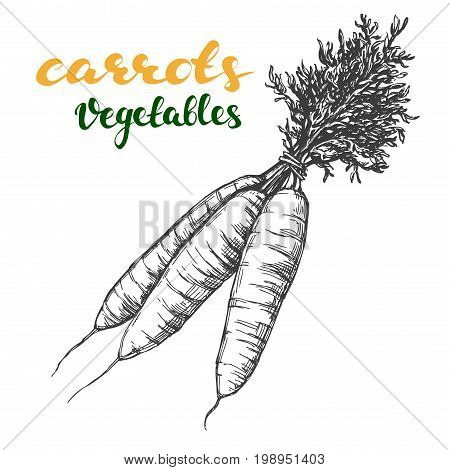 carrots vegetable set hand drawn vector illustration realistic sketch