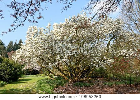blossoming magnolia in the arborethum, Kalmthout Belgium