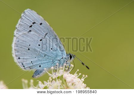 Holly blue (Celastrina argiolus) feeding on hogweed close. Female British insect in the family Lycaenidae nectaring with underside visible