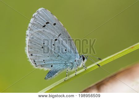 Holly blue (Celastrina argiolus) at rest on grass. Female British insect in the family Lycaenidae nectaring with underside visible