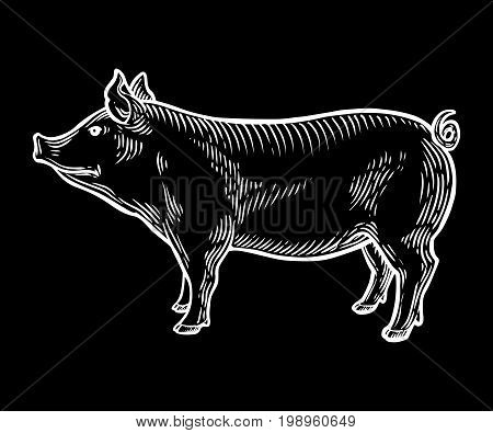 Pig Farm Animal Livestock. Hand Drawn Sketch In A Graphic Style. Vintage Vector Engraving Illustrati
