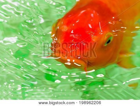red goldfish floating in the pool closeup