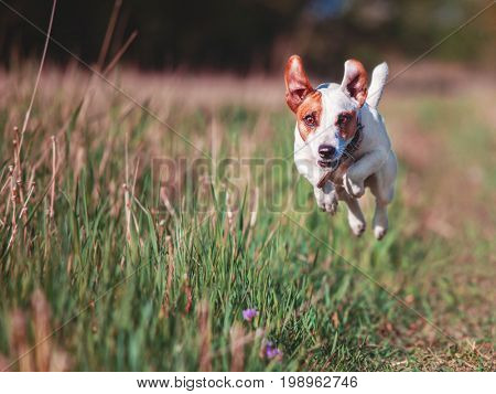 Dog running. Jumping pet at summer