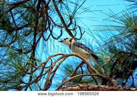 A blue jay (Cyanocitta cristata ) perched on a pine tree branch