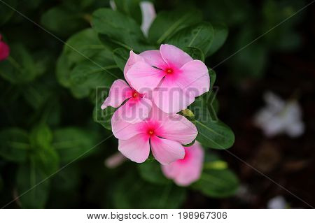 Catharanthus roseus (Madagascar Periwinkle) is a species of Catharanthus in family Apocynaceae native and endemic to Madagascar