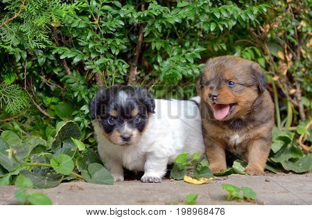 Chinese puppy dogs in garden, close up