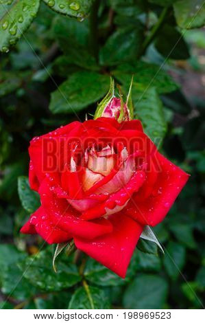 One big red rose against the background of nature.
