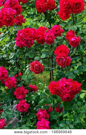 A large bush of red roses. Floral background. Decoration of the garden.