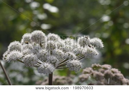 Valerian (Valeriana officinalis) in bloom with some flies on it picture from the North of Sweden.