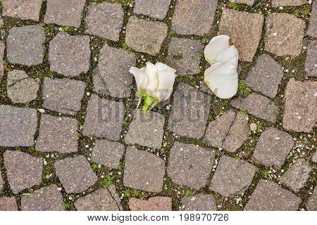 Rose blossom on paving stones Rose blossom lying torn on the paving stone floor