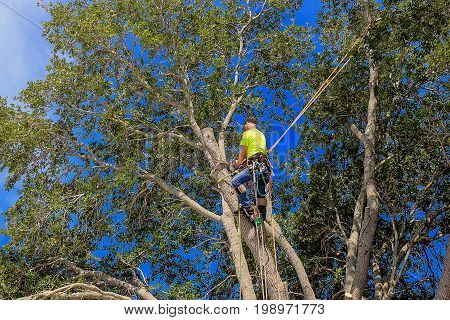 pruning southern live oak tree (Quercus virginiana) by a woodcutter with chainsaw and equipped with harness protection