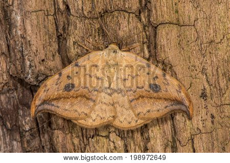 Pebble hook-tip (Drepana falcataria) moth on wood. British nsect in the family Drepanidae at rest with distinctively shaped forewings