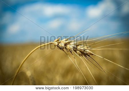 Wheat spike on the background of a wheat field