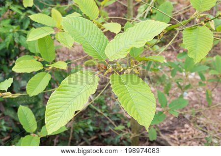 Mitragyna speciosamitragyna speciosa korth (kratom) Mitragynine M. speciosa.