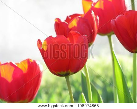 Red tulips isolated on white background blooming in garden in spring close up