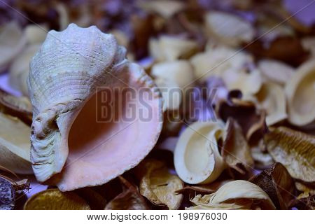sea shell on the background scenery from a nut shell