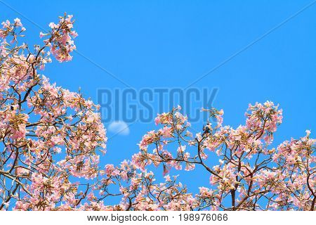 Pink Trumpet Tree With Blooming Flowers