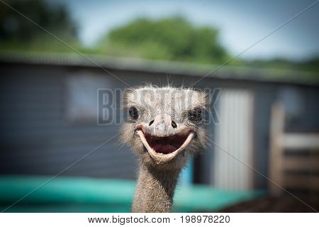 Very dirty young ostrich smiles all over its beak