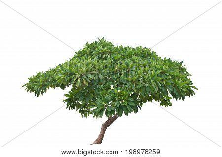 Frangipani tree isolated on ะ้ำ white background