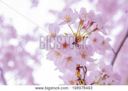 Pink Cherry Blossom Sakura low clarity Beautiful of japan flower vintage tone