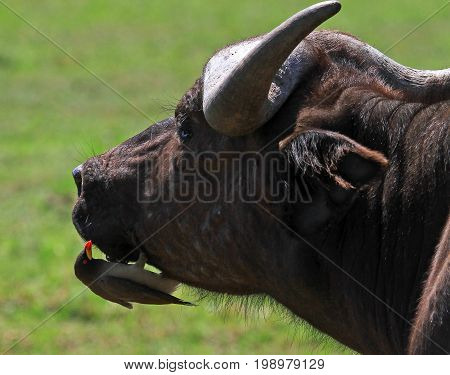 Close up of an African Buffalo face with a small oxpecker perched on it's chin eating insects and ticks which may be imbedded on the buffalo. Masai Mara Kenya