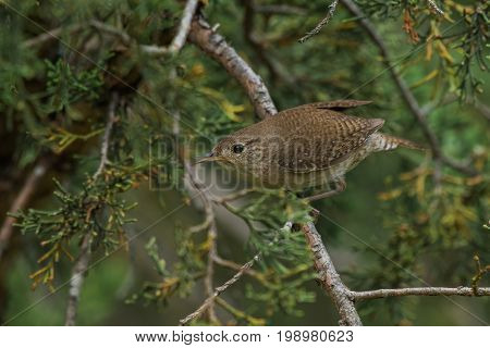 House wren perched on cedar branches preparing to take off