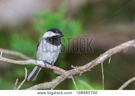 Black capped chickadee holding a seed while perched on a limb