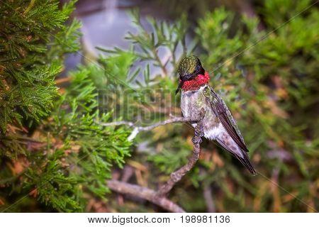 Ruby throated hummingbird perched in a cedar tree