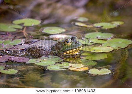American Bullfrog in a pond full of lily pads