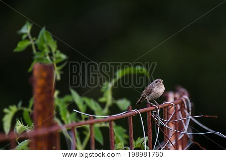 House wren sitting on a rusted fence