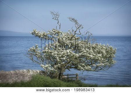 A beautiful hawthorn tree standing on the coast of the Mull of Kintyre Scotland.