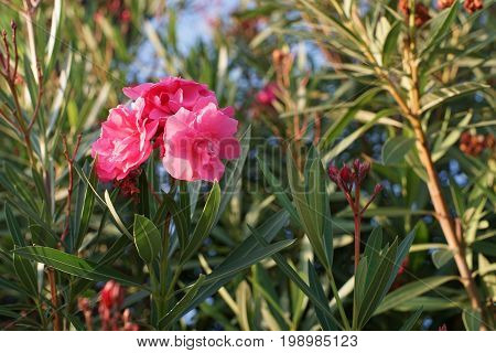 Pink flowers of oleander on the lush Bush on blurred green background with bokeh
